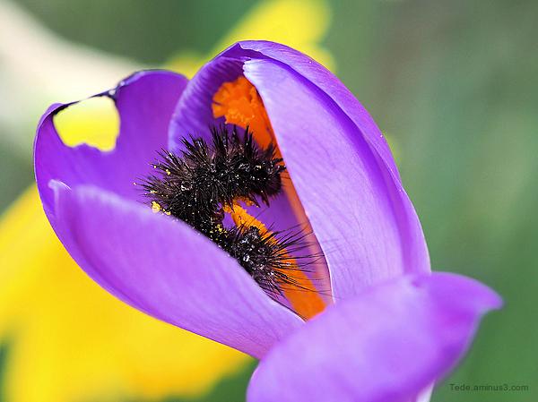 Chenille dans une fleur de crocus