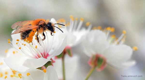 Abeille sur une fleur d'amandier