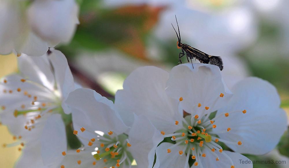 Papillon et fleurs de cerisier