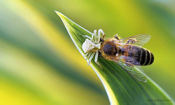 Araignée crabe capturant une abeille