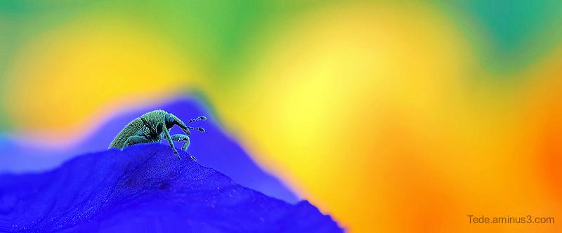 Charençon sur une fleur d'iris