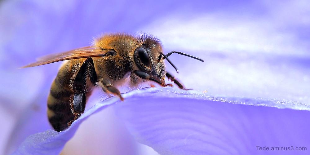 Abeille sur une fleur d'iris