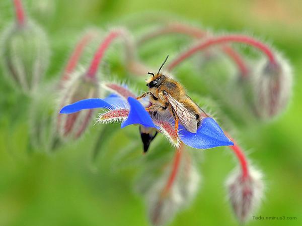 Abeille sur une fleur de bourrache