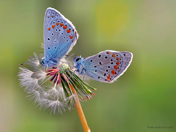 Papillons sur des akènes de pissenlit