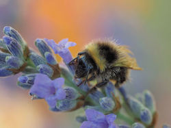 The repose of the bumblebee...
