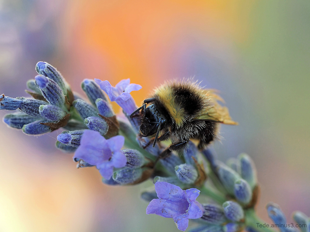 Bumble bee on lavander