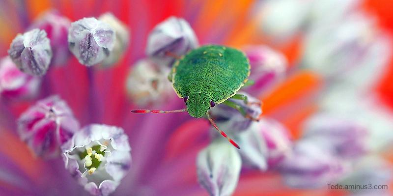 Bug on a flower of wild leek
