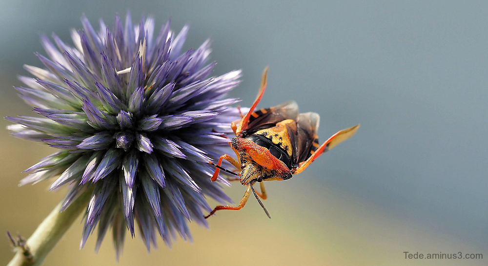 Bug on a flower of thistle