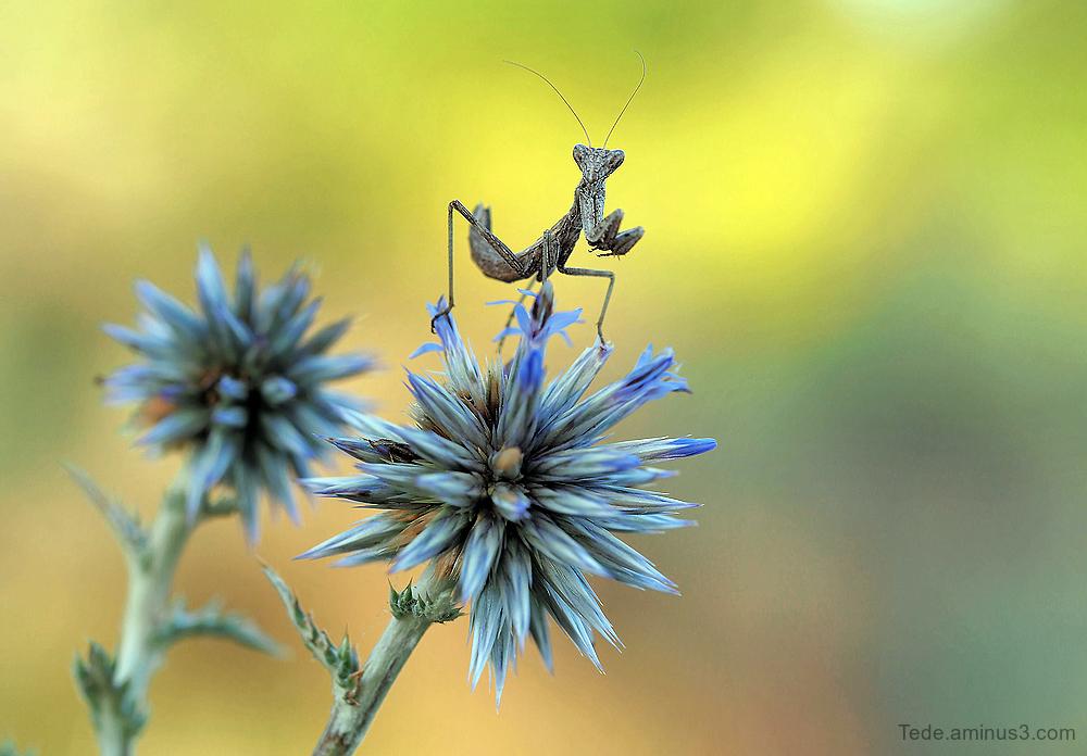 Praying mantis on a thistle flower