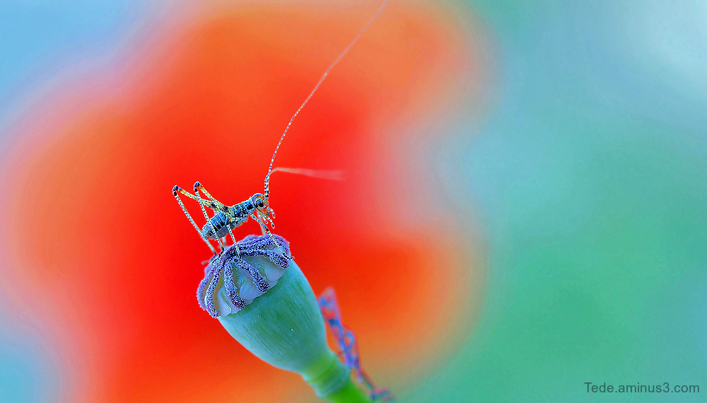 Grasshopper on a poppy button