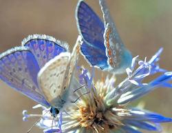 The little blue fairies...