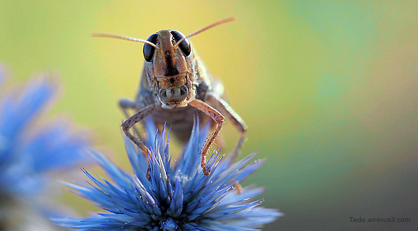 Locust on a thistle flower