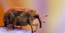A weevil that mimics an elephant...