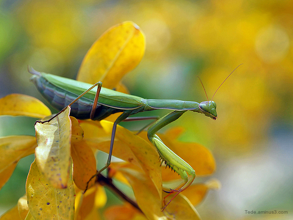 Mantis prayer