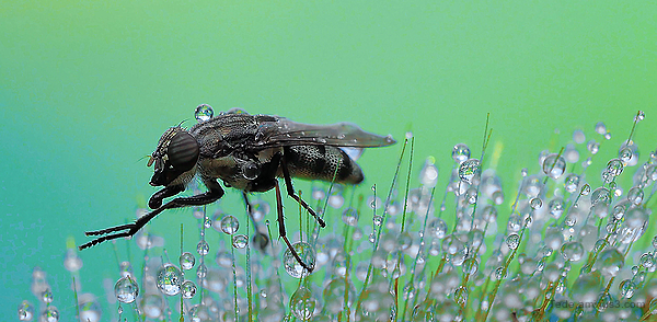 Fly in dew drops