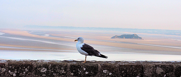 Gull to the Mont-St-Michel
