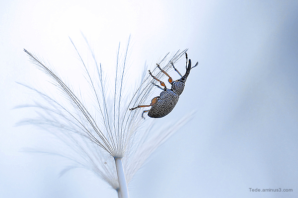 Weevil on achenes dandelion