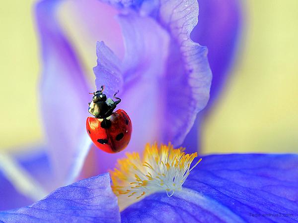 Coccinelle sur une fleur d'iris