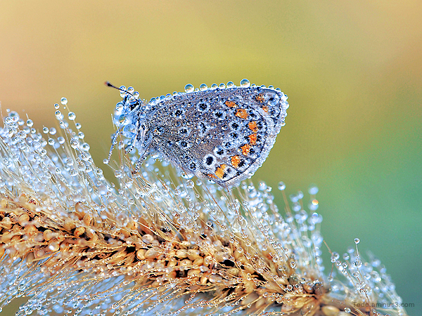 Butterfly and dew drops