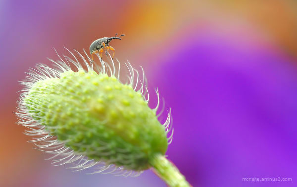 Weevil on a poppy button
