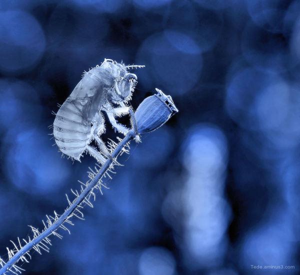 Exucia cicada !!!