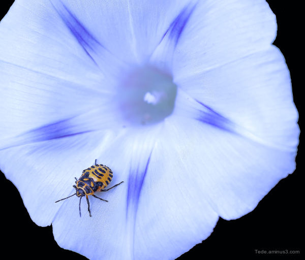 Bug on a a flower of volubilis !!!