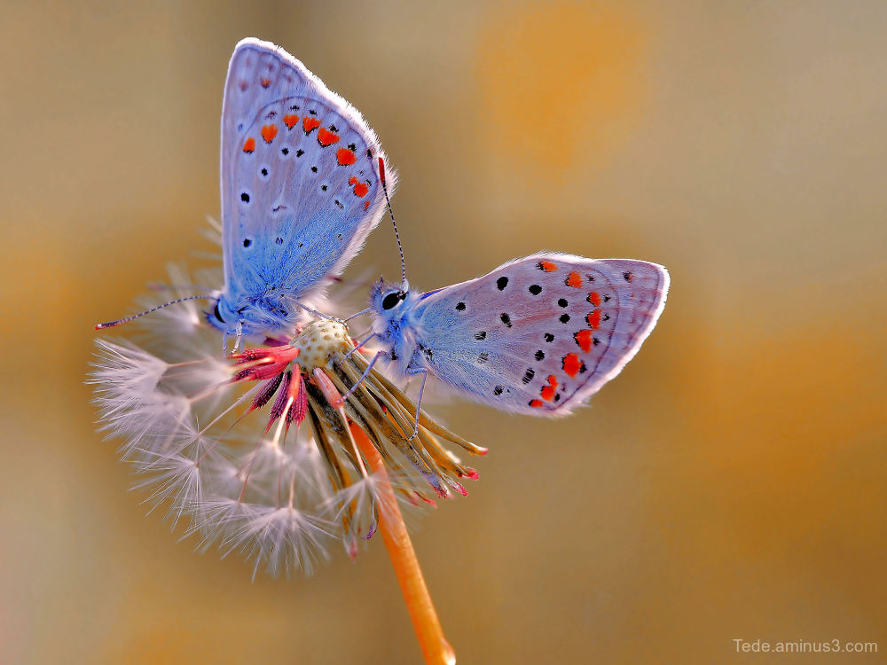 Butterflies on achenes of dandelion !!!