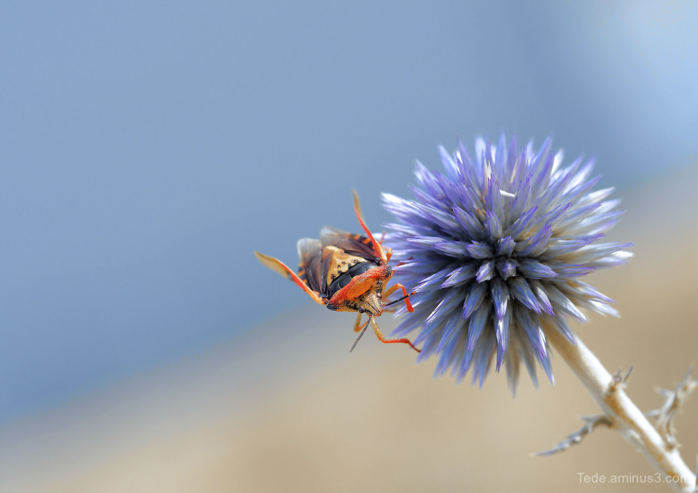 Bug on a blue thistle !!!