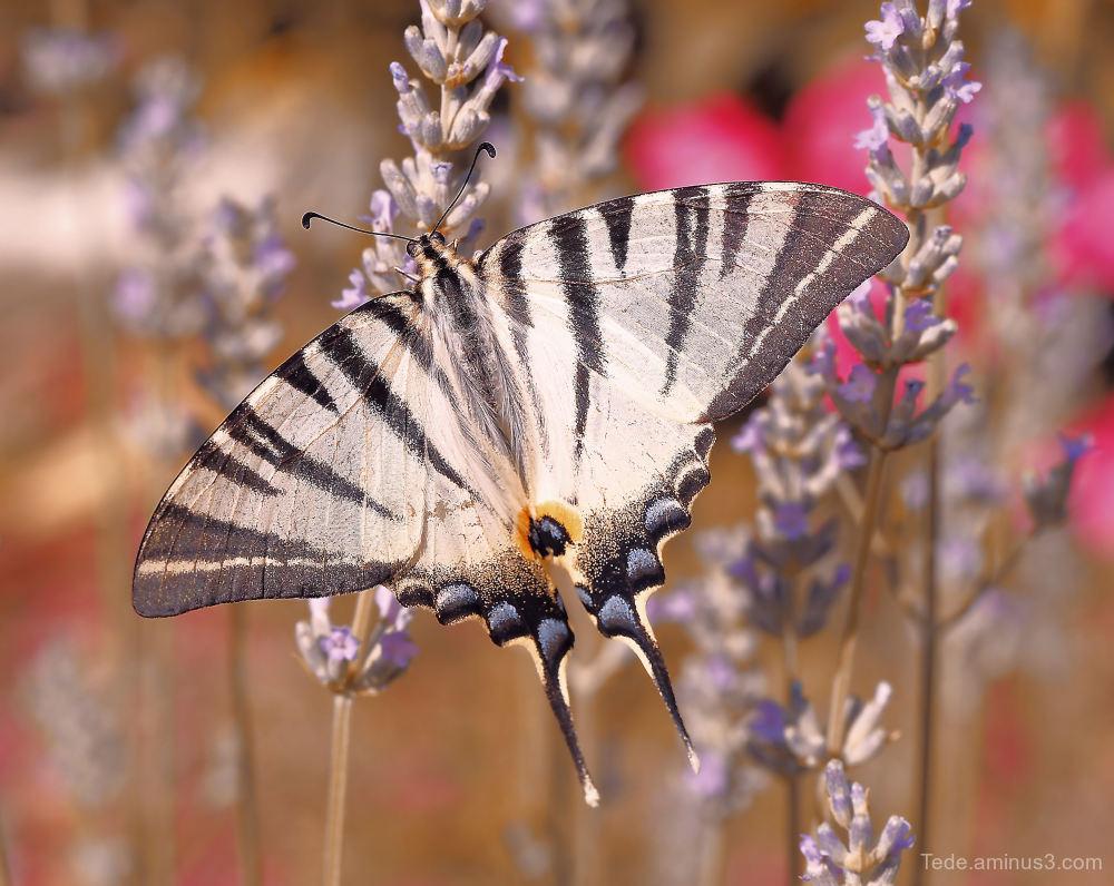 Flambé on lavender flower !!!