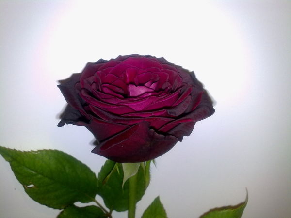 Violet Rose