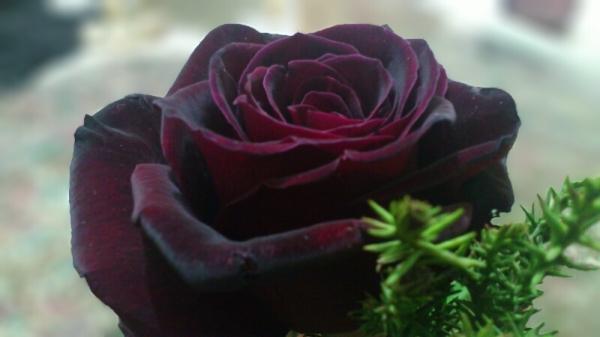 Black Rose??