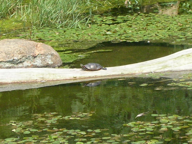 little turtle on a log