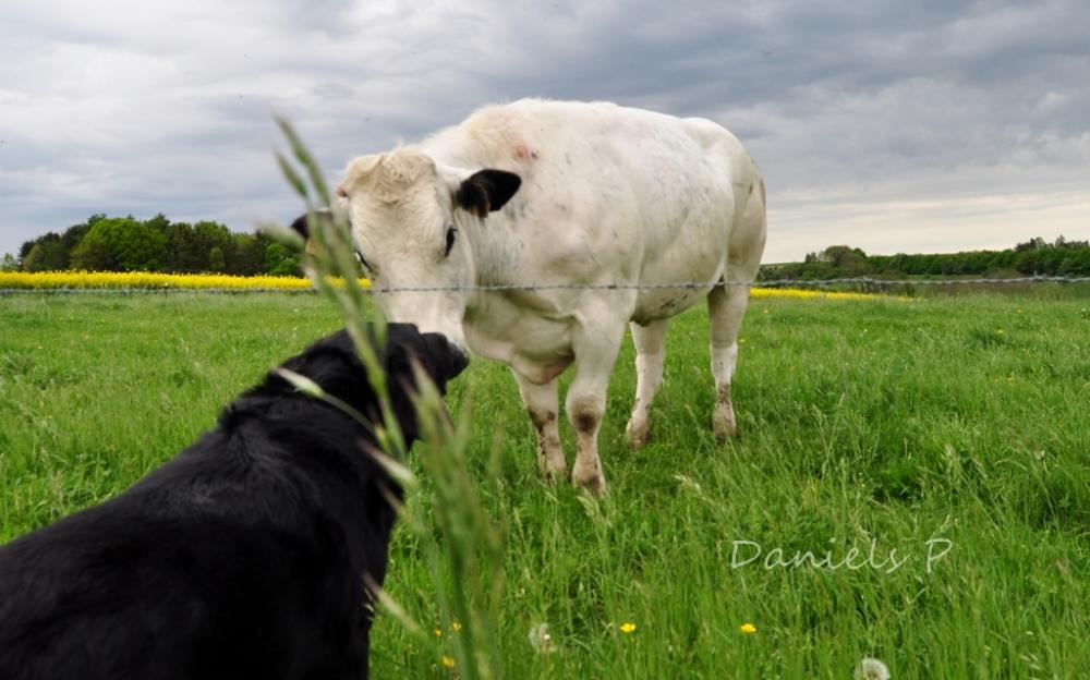 dog&cow
