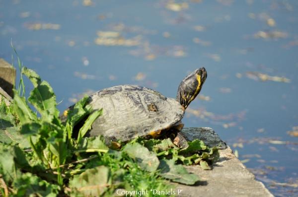 tortue aquatique