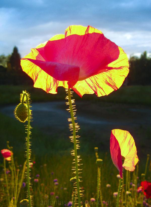 Golden Hour Poppies