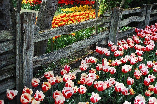 Fence Line at the Skagit County Tulip Festival, WA