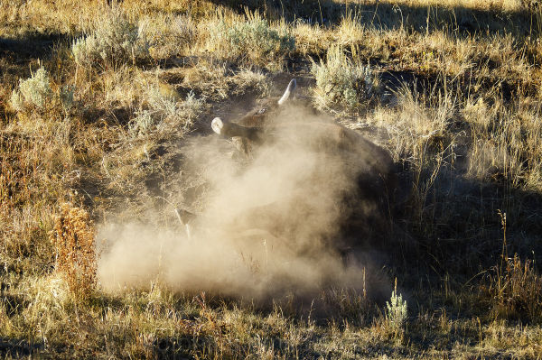 Buffalo Bison Rolling in Dirt in Yellowstone Park