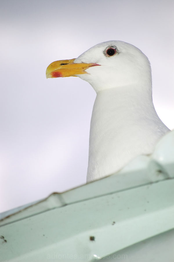 Seagull Sitting on Roof Close-Up White Rock BC