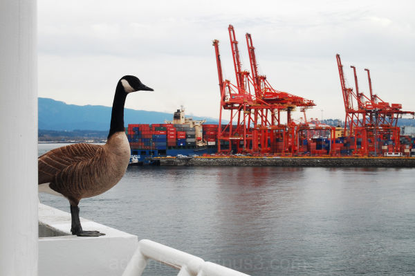 Goose overlooking the docks in Vancouver BC Canada