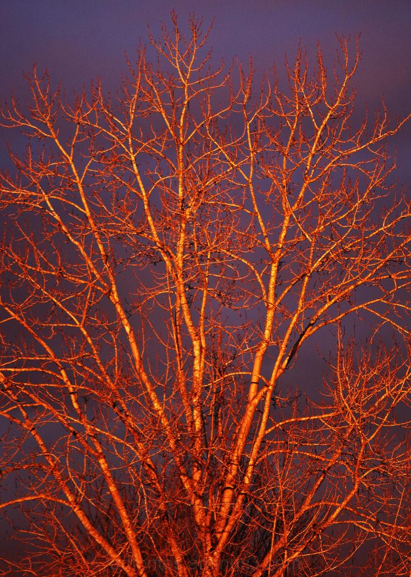 Bright Orange Tree in Golden Hour Light & Dark Sky