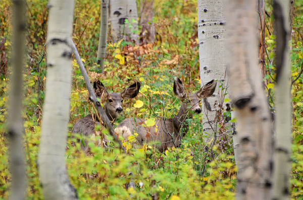 Fawns in the Fall Foliage