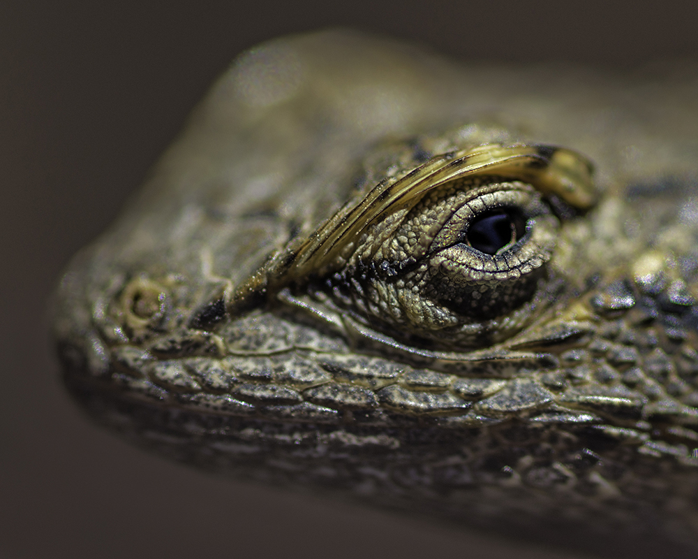 Macro shot of a lizard's head in Capitol Reef