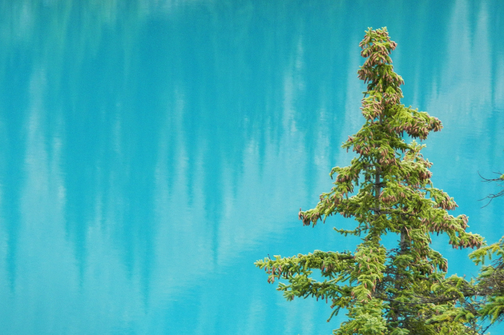 Pine tree with aquamarine water of Moraine Lake