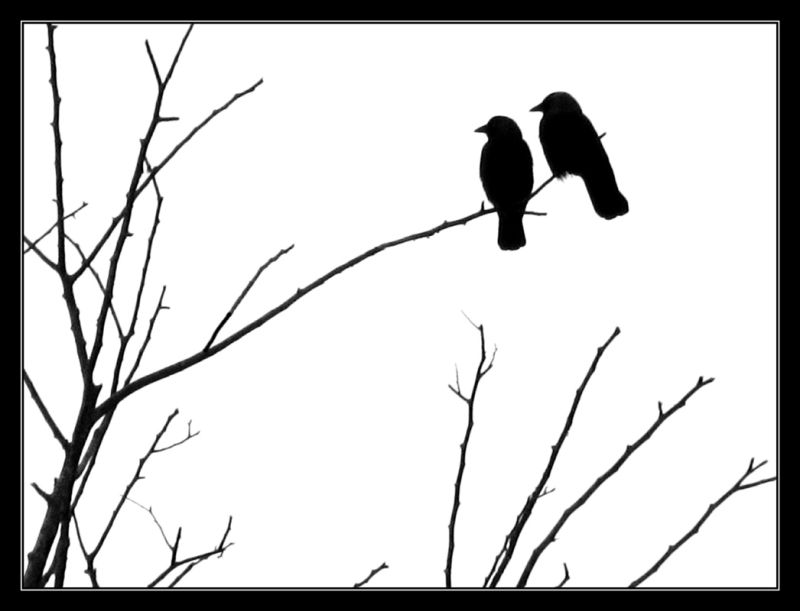 These crows sit on a tree