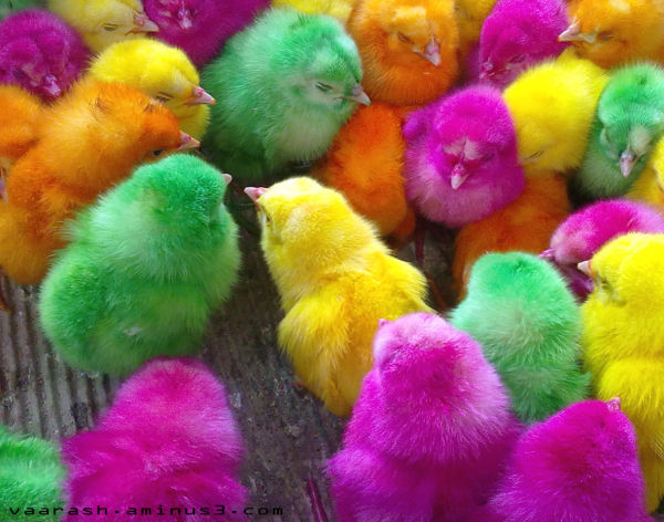 Colored chicks  جوجه رنگ شده