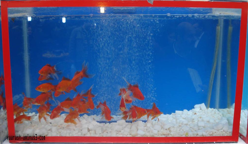 ماهی قرمز 2