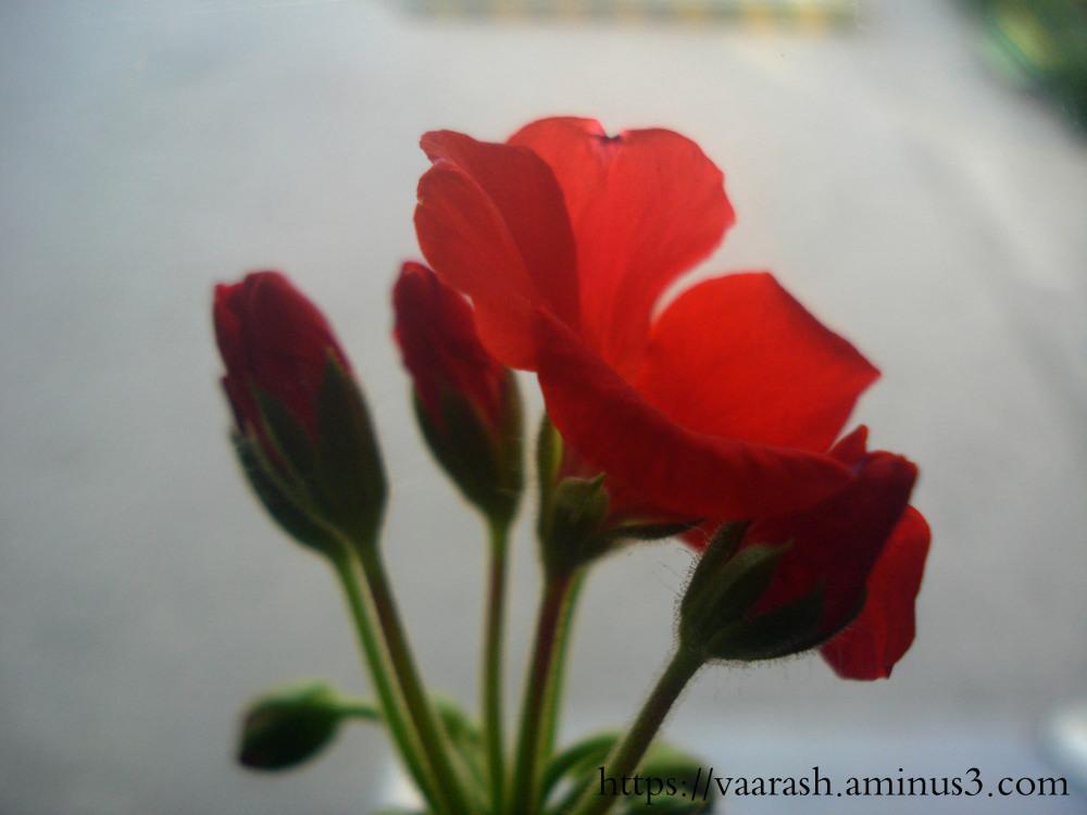 geranium