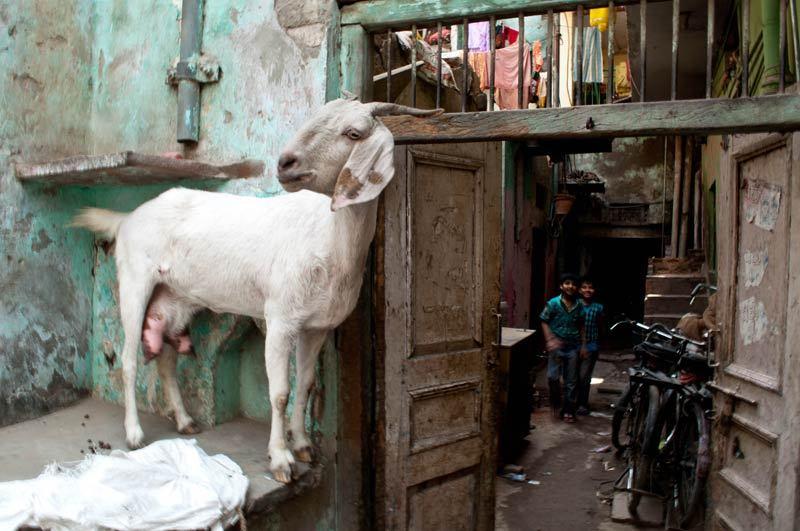 A Goat in Delhi