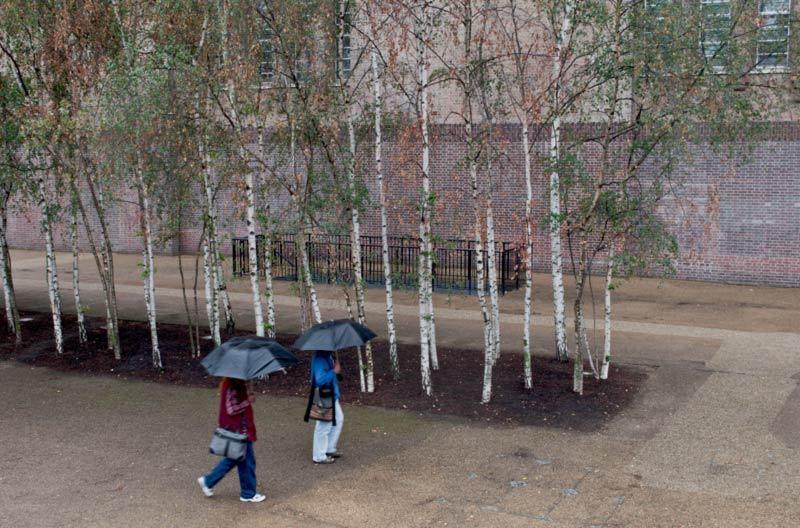 Arbres sous la pluie  /   Trees and rain