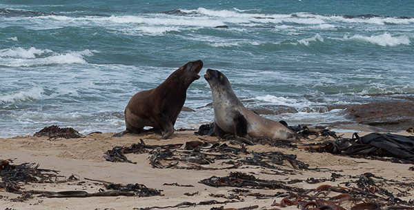 Animaux marins, seals, otaries